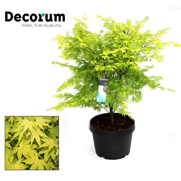 Acer Orange Dream Decorum C15