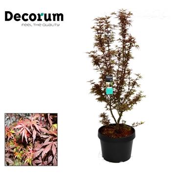 Acer Shaina Decorum C20
