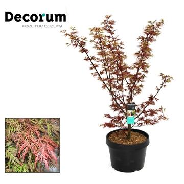 Acer Orangeola Decorum C20