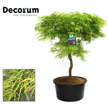 Acer Dissectum Decorum C65