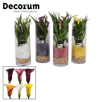 Zantedeschia Mix in Gaby Cilinderglas (Decorum)