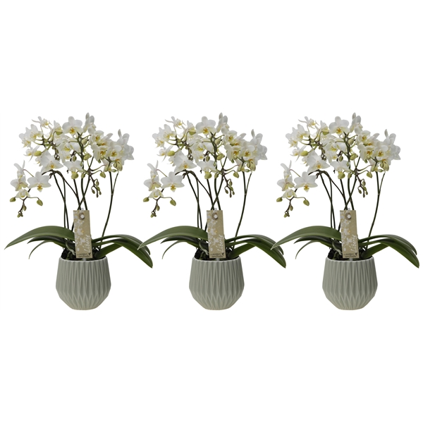 Little Kolibri Orchids Liberty 4 Tak In Fleur Pot Green