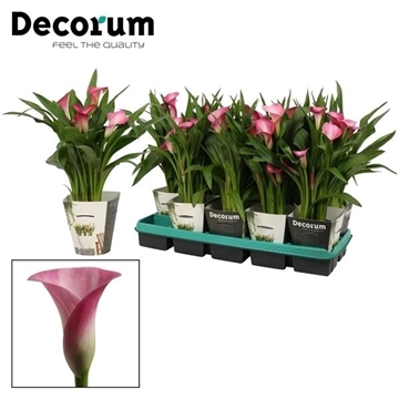Zantedeschia Garnet Glow in Potcover (Decorum)