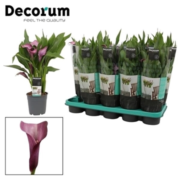 Zantedeschia Grape Velvet 12cm (Decorum)