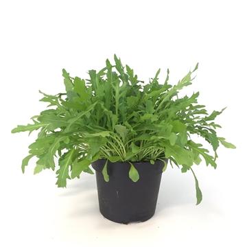Herbachef BIO kruiden Rucola Eruca Sativa