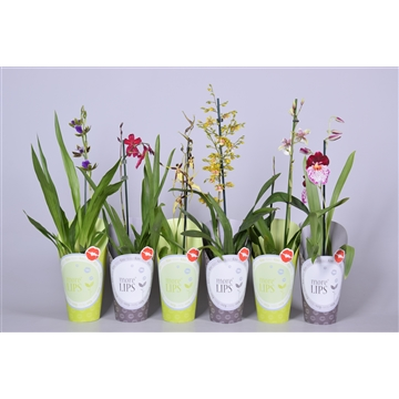 MoreLIPS® Orchideeën Mix 1 tak in groen & taupe potcover