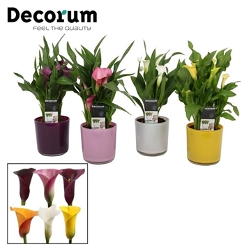 Zantedeschia Mix in Glaspot Claudia (Decorum)