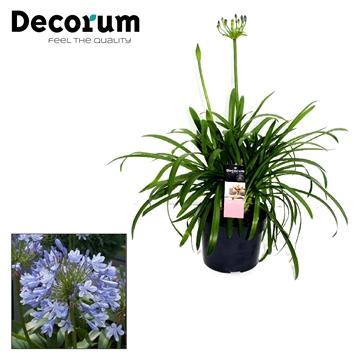Agapanthus Blue Decorum P17