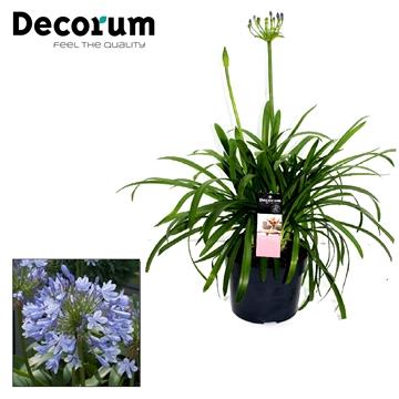 Agapanthus Blue Decorum P19