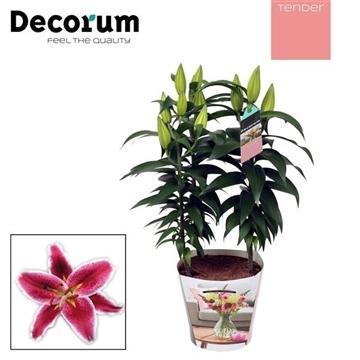 Lilium Oriental Pink 17cm TENDER