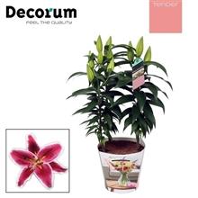 Artikel #335674 (115: Lilium Oriental Pink 17cm TENDER)