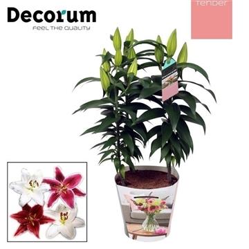 Lilium Oriental Mix 17cm TENDER