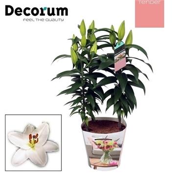 Lilium Oriental White 17cm TENDER