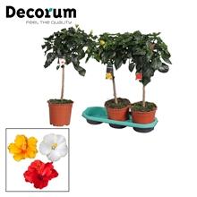 Artikel #336108 (DECO-19-NAKMX: Hibiscus op stam mix - Decorum (PLANTENPASPOORT))