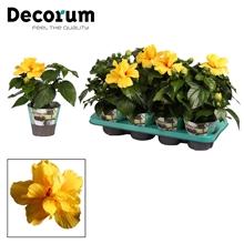 Hibiscus Koenig geel dubbelbloemig