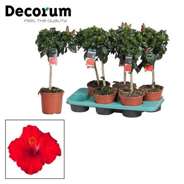 Hibiscus op stam - 15 cm - Première (red) - Decorum (PLANTENPASPOORT)