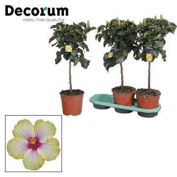 Hibiscus op stam - 19 cm - Cocktail (yellow/pink) - Decorum  (PLANTENPASPOORT)