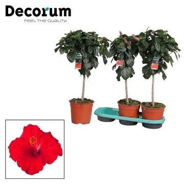 Hibiscus op stam - 19 cm - Première (red) - Decorum (PLANTENPASPOORT)
