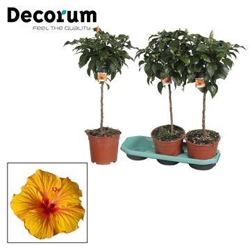 Hibiscus op stam - 19 cm - Safari (orange/yellow) - Decorum (PLANTENPASPOORT)