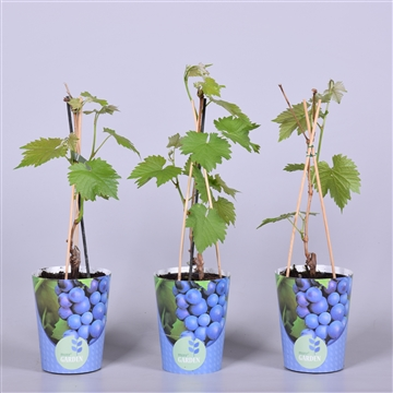 MoreGARDEN® Vitis Boskoop Glory in potcover