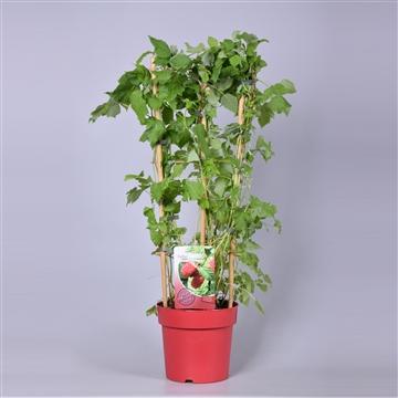Rubus ideaus 'Tulameen' (framboos doornloos) op rek, rode pot 23