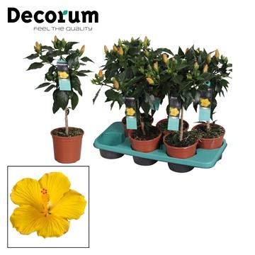 Hibiscus op stam - 15 cm - Starlet (yellow) - Decorum