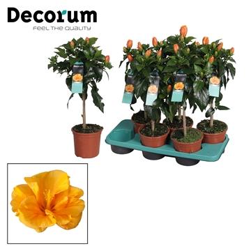 Hibiscus op stam - 15 cm - Jazz (orange) - Decorum (PLANTENPASPOORT)