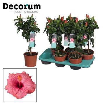 Hibiscus op stam - 15 cm - Venetië (pink) - Decorum