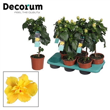 Hibiscus op stam - 15 cm - Koenig (yellow) - Decorum (PLANTENPASPOORT)