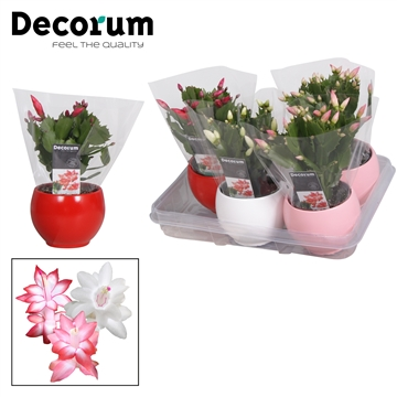 Schlumbergera - 10,5 cm - Valentine's mix - Decorum