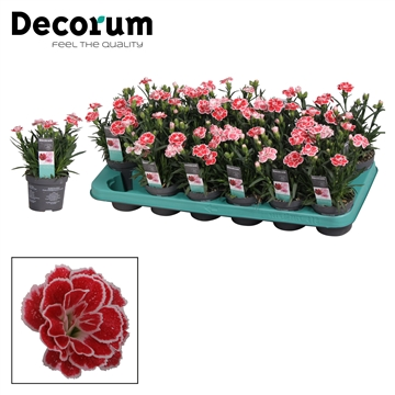 Dianthus - 9 cm - Oscar White and Red - Decorum