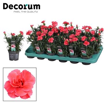 Dianthus - 9 cm - Oscar Salmon - Decorum