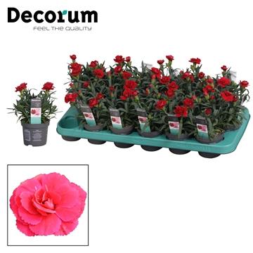 Dianthus - 9 cm - Oscar Cherry - Decorum