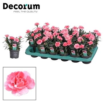 Dianthus - 9 cm - Oscar Pink - Decorum