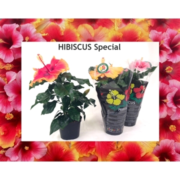 Hibiscus Hawaii® Long Life Mix 1,5-2 tak
