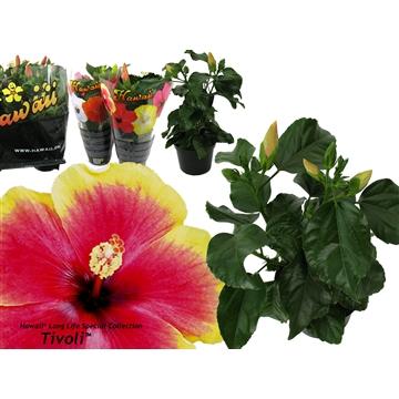 """Hibiscus Hawaii® Special """"Long Life"""" Tivoli 3-3+ tak"""