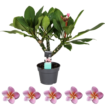 Closed FlowerPlumeria Hawaiian vertakt opal pink 17 cm