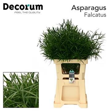 ASPARAGUS falcatus 85cm DC (25)