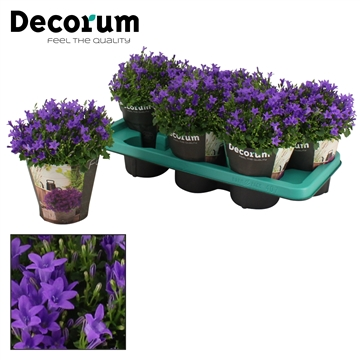 DECORUM- Campanula Ambella Intense Purple 14 cm