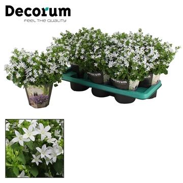 DECORUM- Campanula Adansa White 14 cm