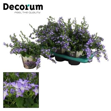 DECORUM- Campanula Adansa Blue 14 cm
