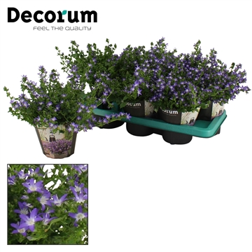 DECORUM- Campanula Adansa Purple 14 cm