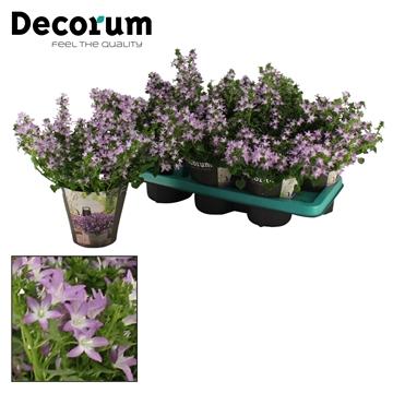 DECORUM- Campanula Adansa Pink 14 cm