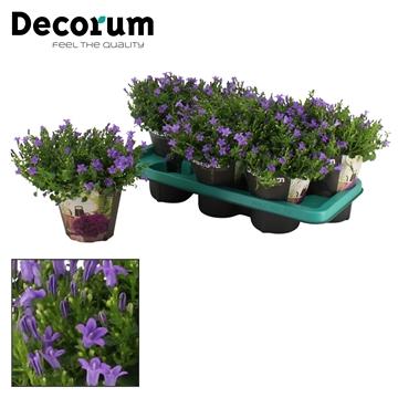 DECORUM- Campanula Ambella Lavender 14 cm