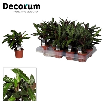 Calathea Elgergrass 7 cm (Decorum)
