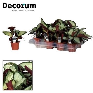 Calathea Picturata 7 cm (Decorum)