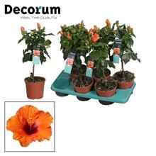 Hibiscus op stam - 15 cm - Lucca (orange) - Decorum