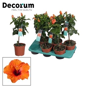Hibiscus op stam - 15 cm - Lucca (orange) - Decorum (PLANTENPASPOORT)
