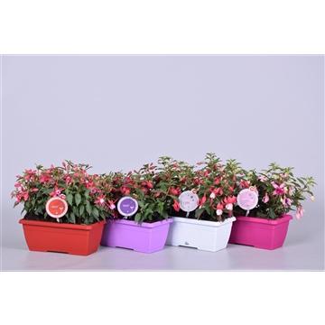 MoreLIPS® Fuchsia Bella gemengd in duobak