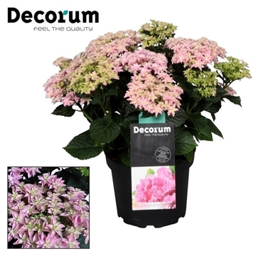 Hydrangea Double Dutch Pink (Decorum)